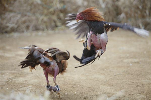 online cock fighting